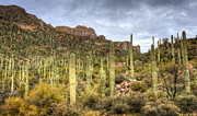 Superstition Mountains Photo Framed Prints - A Forest of Saguaros  Framed Print by Saija  Lehtonen