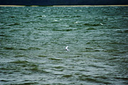 Kim Pate - A Forster Tern Fighting...