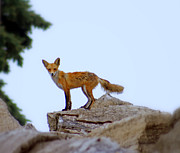 A Fox On The Rocks Print by Kay Novy