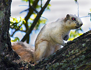 Natural Habitat Prints - A Fox Squirrel Pauses Print by Betsy A Cutler East Coast Barrier Islands