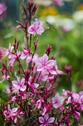 Pinks Posters - A Garden of Gaura Poster by Heather Applegate