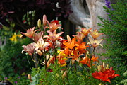 Tiger Lillies Photos - A Garden of Lillys for Susan by Kathy Paynter