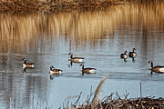 Bill Kesler Framed Prints - A Geese Gathering Framed Print by Bill Kesler