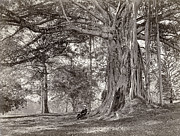 A Gentleman Sitting Beneath A Large Native Tree In British Ceylon Print by Scowen and Co
