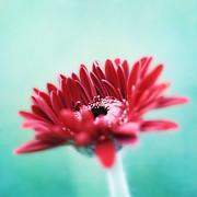 HJBH Photography - A Gerbera