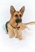 Eleanor Abramson - A German Shepherd Snow...
