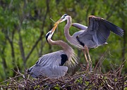 Herons Photos - A Gift for the Nest by Sabrina L Ryan
