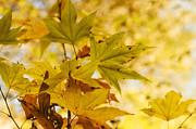 Saija  Lehtonen - A Golden Autumn Morning