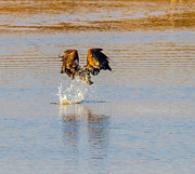 Brian Williamson - A Golden Eagle Fishing