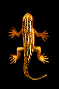 Golden Digital Art - A Golden Lizard by Nth Alien