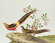 Bird On Tree Painting Prints - A Golden Pheasant Print by Chinese School