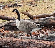 Ebsq Photo Prints - A Goose in Virginia Print by Kimmary I MacLean