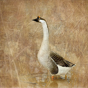 Reeds Digital Art Framed Prints - A Goose is a Goose Framed Print by Betty LaRue