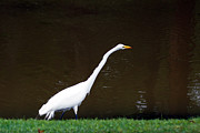 Kim Pate - A Great Egret on Hilton...