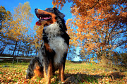 Bernese Photos - A happy Bernese mountain dog outdoors by Michal Bednarek