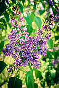Lilacs Photos - A Heady Perfume  by Colleen Kammerer
