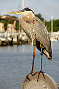 Lynn Jordan - A heron in the Marina