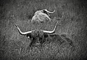 Coats Prints - A Highland cattle in the Scottish Highlands Print by RicardMN Photography