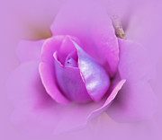 Judy Palkimas Framed Prints - A Hint of Lavender Rose Framed Print by Judy Palkimas