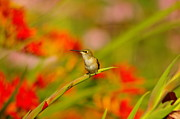 Living Things Prints - A Humming Bird Perched Print by Jeff  Swan