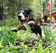 Greater Swiss Mountain Dog Prints - A Joyful Spring Print by Aaron Aldrich