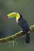 Juan Carlos Vindas - A Keel billed toucan...