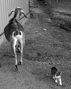 Canvas  Black And White Cat Photos - A Kitten and a Goat by Alex Nielsen  Photography