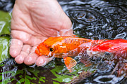 Water Garden Photos - A Koi In The Hand by Priya Ghose