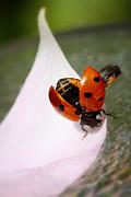 HJBH Photography - A ladybug