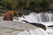 Katmai National Park Prints - A Large Brown Bear Patiently Sits Print by Chris Miller