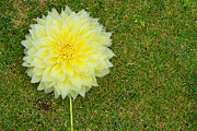 Florescence Posters - a large headed yellow flower on the lawnAC Poster by Fizzy Image