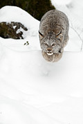 Tufted Ears Prints - A leaping Canadian Lynx Print by Jeannette Katzir