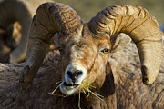 Bighorn Photos - A Light Lunch by Mike  Dawson