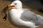 Seagull Metal Prints - A Little Bit Crabby  Metal Print by Donna Kennedy