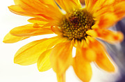 Floral Composition Photos - A Little Bit Sun in the Cold Time by Jenny Rainbow