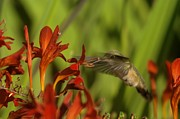 Humming Birds Framed Prints - A Little Hummer Framed Print by Jeff  Swan