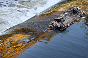 Tree Leaf On Water Photo Prints - A Log Jams the Dam Print by Ilene Hoffman