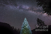 Fir Trees Prints - A Lone Lit Pine Tree Glows Print by John Davis