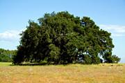 Terry Thomas - A Lone Tree