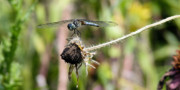 Damsel Fly Photos - A Long Way Out by JC Findley