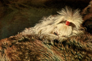 White Maltese Prints - A Long Winters Nap Print by Lois Bryan