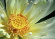 Sabrina L Ryan - A Lotus Close Up