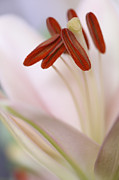 HJBH Photography - A macro of a soft pink colored Lily