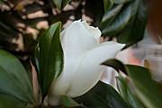 Lynn Jordan - A Magnolia Bloom