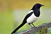 Magpies Photos - A magpie by Tommy Hammarsten