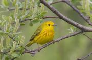 Yellow Warbler Posters - A Male Yellow Warbler Perched Poster by Milo Burcham