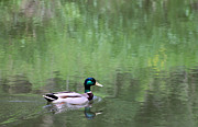 Bruce Patrick Smith - A Mallard in the Chagrin...