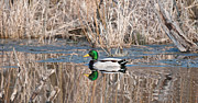 Christopher L Nelson - A Mallard Reflecting