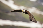 Haliaeetus Leucocephalus Framed Prints - A Mature Bald Eagle in Flight Framed Print by Tim Grams