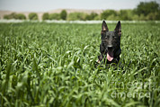 Working Dog Posters - A Military Working Dog Sits In A Field Poster by Stocktrek Images